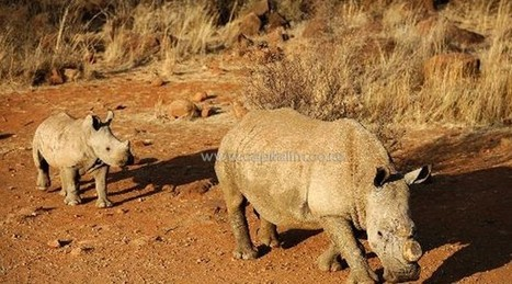 Experts 'grasping at straws' to save near-extinct rhino | Save our Rhino and all animals...this is what it looks like!!!!! | Scoop.it
