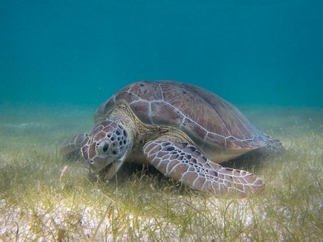 Climate Change and Sea Turtles - Conservation Articles & Blogs - CJ   Wildlife and Conservation   Scoop.it
