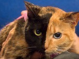 Venus the Two-Faced Cat Still a Mystery | Science and Other Wild Affairs | Scoop.it