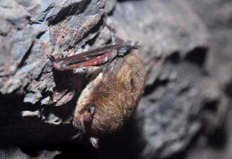 Bats diagnosed with white-nose syndrome found in Michigan - Battle Creek Enquirer | Bat Biology and Ecology | Scoop.it