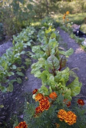 Planning A Companion Vegetable Garden | Gardening | Scoop.it