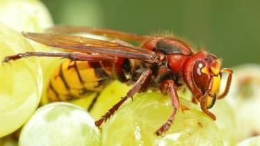 Without wasps would there be wine? | Wine in the World | Scoop.it