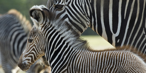 Researchers Discover Why Zebras Have Stripes! | Xposed | Scoop.it