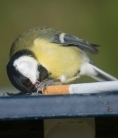 City birds use cigarette butts to smoke out parasites   Science H   Scoop.it