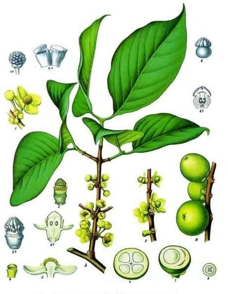The intriguing nature of Garcinia Cambogia demystified! | Internet | Scoop.it