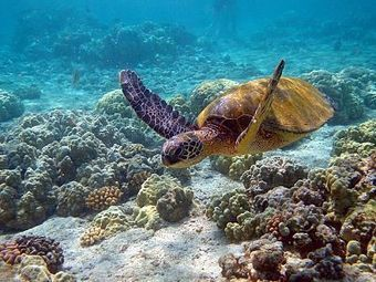 USGS Study Finds Green Sea Turtles Are Utilizing Protected Habitat | Sustainable Products and Practices | My Funny Africa.. Bushwhacker anecdotes | Scoop.it