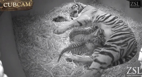 Rare Sumatran Tiger Triplets Born in London [VIDEO] | animals and prosocial capacities | Scoop.it