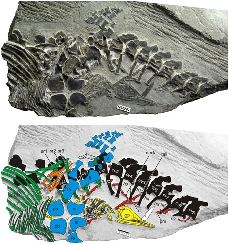 Fossils Reveal Oldest Known Vertebrate Live Birth   I Fucking Love Science   Ancient Civilization   Scoop.it