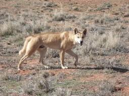 PestSmart: Wild dogs « Feral.org.au   AgainstFeralDogs   Scoop.it