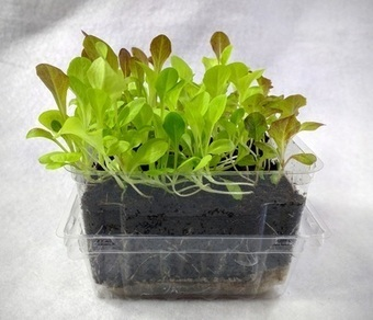 Something Old, Something New, Become Two | Microgreens | Scoop.it