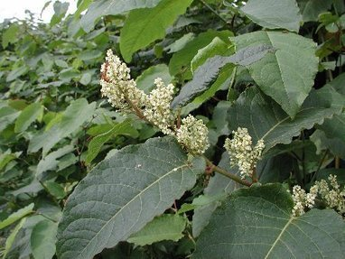 Giant knotweed discovered in Waihi | Plant Pests - Global Travellers | Scoop.it