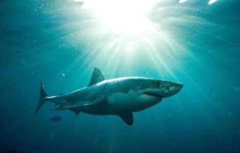 Un des secrets du requin mis à jour par des scientifiques | Carnets de plongée | Scoop.it