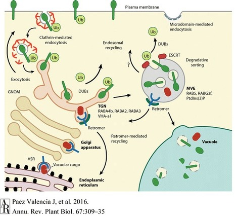 Endocytosis and Endosomal Trafficking in Plants - Annual Review of Plant Biology, 67(1):309 | Plant-Microbe Interaction | Scoop.it