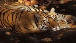 En Chine on affame les tigres pour en faire du vin | CRAZY PRESS | Scoop.it
