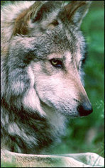Wolf Supporters Urge Gov. Ducey to End State Interference with Wolf Recovery | animals nature | Scoop.it