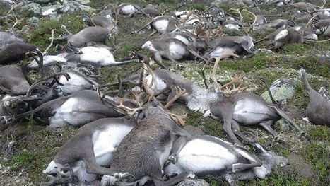 #Lightning strike kills 323 #reindeer in #Norway | Messenger for mother Earth | Scoop.it