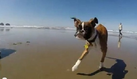 VIDEO. Un chien à deux pattes court pour la première fois sur la plage | CaniCatNews-actualité | Scoop.it