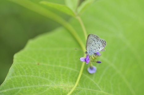 Fukushima Nuclear Accident Produces Mutant Butterflies | Sobre naturaleza, | Scoop.it
