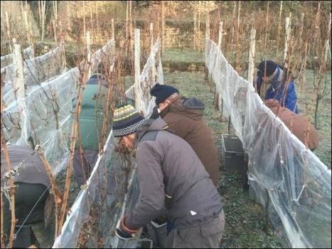 Les vendanges du vin de glace ont commencé | Vinideal - A la recherche de votre Vin Idéal ! www.vinideal.com | Scoop.it