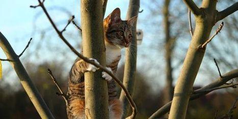 Pourquoi les chats retombent sur leurs pattes | responsabilité humaine | Scoop.it