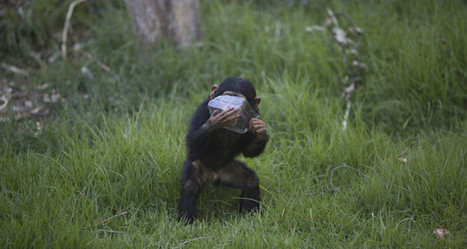 UK primatologist: Baby chimpanzee trafficking on the rise   Oceans and Wildlife   Scoop.it