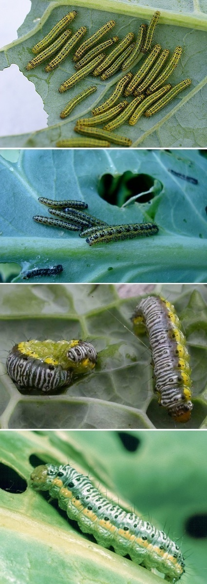How to control cabbage worms | Backyard Gardening | Scoop.it
