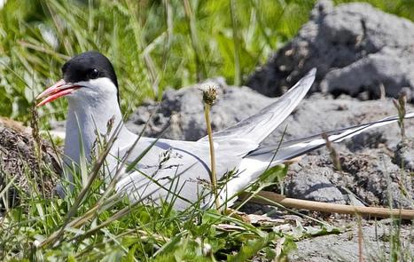 Arctic Tern | Oceans and Wildlife | Scoop.it