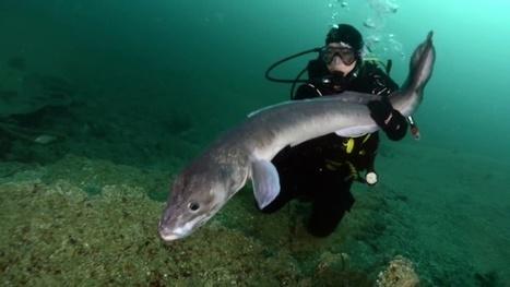 Vidéo HD | Bretagne - Ce plongeur danse avec les congres ! | Plongeurs.TV | Scoop.it