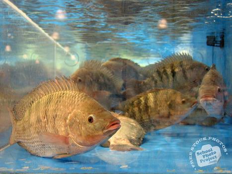 FREE Tilapia Photo, Tilapia Fish Picture, Tilapias Image | Royalty-Free Animal Stock Photos, Images, Pictures, Photography | tilapia1 | Scoop.it