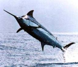 Expanding dead zones are shrinking tropical blue marlin habitat | Sustainable Futures | Scoop.it