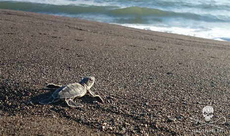 E-news: $2,000 Reward for the Capture of Anna Maria Island Turtle Killers - Sea Shepherd Conservation Society | Our Evolving Earth | Scoop.it