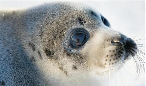 Seal pup deaths explode as ice disappears - Climate Change Claims More Victims | CLIMATE CHANGE WILL IMPACT US ALL | Scoop.it