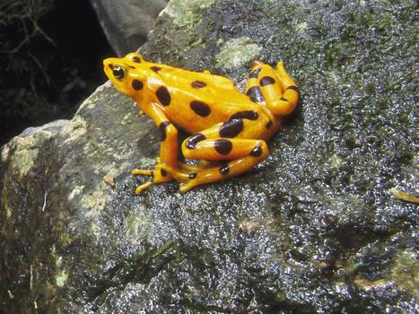 Frantic fight to save frogs from killer fungus | Leading for Nature | Scoop.it