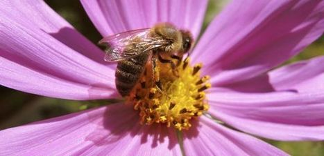 Your Secret Food Supplier: The Humble Honeybee | UANews | CALS in the News | Scoop.it