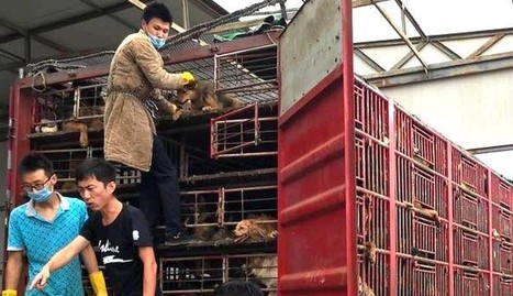 Mobs Of People Stop Truck Carrying 300 Dogs To Slaughter | Nature Animals humankind | Scoop.it