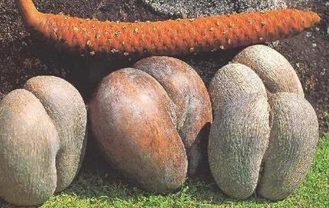 Keajaiban Buah Cinta Double Coconut | encik titan | Scoop.it