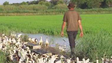 Agriculture intelligente : des canards pour remplacer les pesticides | Gestion des services aux usagers | Scoop.it
