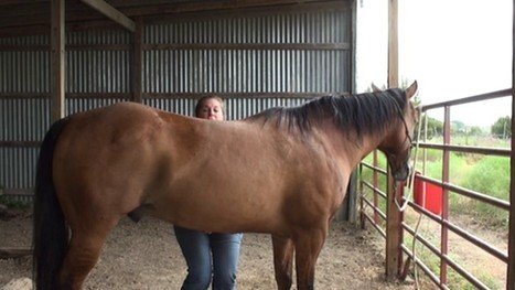 Teach Your Horse The Belly Lift Stretch | Equine Bodywork | Scoop.it