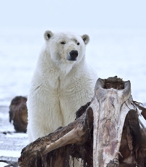 Hungry Polar Bears Devastating To Sea Bird Populations   GarryRogers NatCon News   Scoop.it