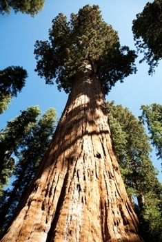 Big Trees First to Die in Severe Droughts - Scientific American | Sustain Our Earth | Scoop.it