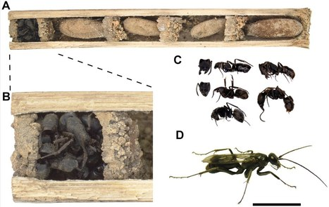 Why Are These Wasps Stockpiling Ant Corpses in Their Nests? | Strange days indeed... | Scoop.it