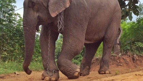 Abused Elephant Weeps As She Begins Her New Life Freed From Chains | Nature Animals humankind | Scoop.it