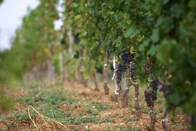 China overtakes France to have world's second biggest wine-growing area - ABC News (Australian Broadcasting Corporation) | Good things about Asia, tout ce qui a de bon sur l'asie | Scoop.it