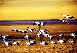 Migration of Black-necked Cranes   tibte travel   Scoop.it