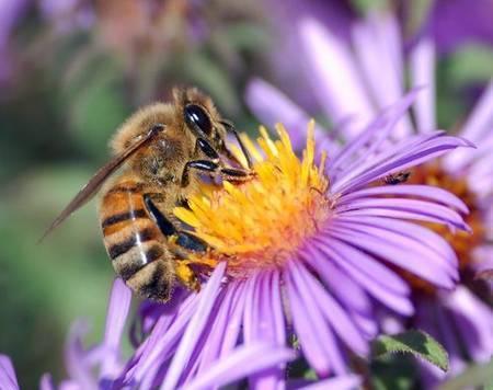 Des abeilles dressées pour détecter les explosifs - Terra eco   Tout le web   Scoop.it