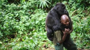 Gorillas And Guerrillas Share The Troubled Congo : NPR | Conservation Management | Scoop.it