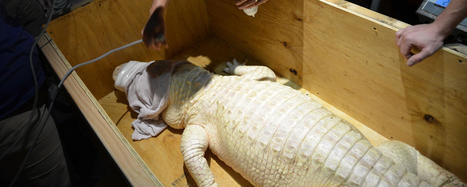 Introducing Alabaster, the Affable Albino Alligator | All about water, the oceans, environmental issues | Scoop.it