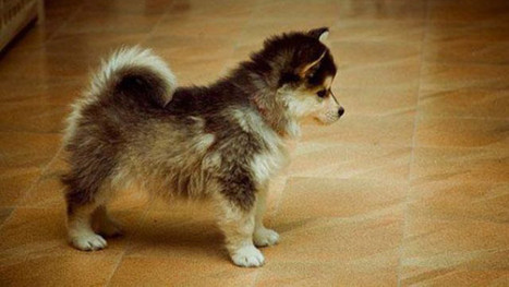 Hybrid Dog Information http://topdogumentary.com/hybrid-dog-information/ #HybridDogInformation | Dog Pictures - Pindoggy | Scoop.it