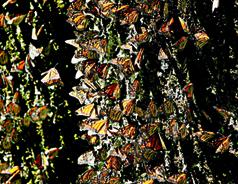 BusinessMirror - Monarch butterflies drop, migration may disappear | Organic Farming | Scoop.it