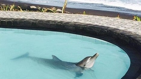 Wake Bali Dolphins: Free four wild dolphins contained in a tiny resort pool | Nature Animals humankind | Scoop.it